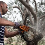 Five arrested as Israeli forces cut down olive trees in Rastira