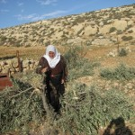 Palestinian woman examines her family's destroyed olive grove in Khoruba