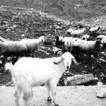 Goats and sheep strolling over the demolished school.
