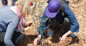 International volunteers assisted in planting the olive trees