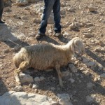 The sheep that was beaten by the armed man. Witnesses said the man kicked the sheep in the stomach and face, and threw rocks on its head. The pregnant sheep was alive when CPTers arrived.