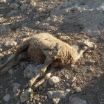 Two hours after the beating, the sheep sheep died. The owner suspected the animal was 10 days from giving birth.