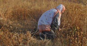 Harvesting grain in Khuza'a.