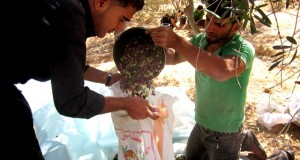Gaza Olive Harvest 2