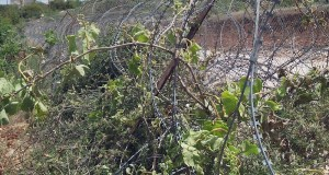 Grape vines poisoned Hebron