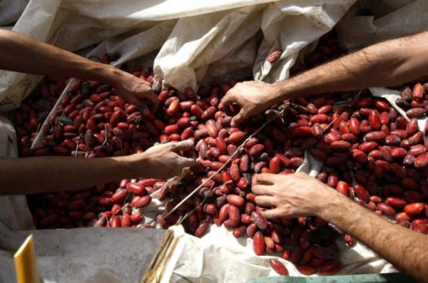 Olive harvest in the Jordan Valley