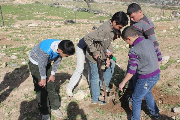 Olive tree planting in Bab Al Kamara