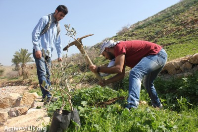 Activists planting olive trees in recently partly demolished village of Al Maleh, Tubas, 26 Feb 2013. Photo Activestills.com