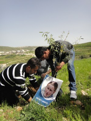 Olive tree with image of Rachel Corrie being planted in Asira (Photo by ISM)