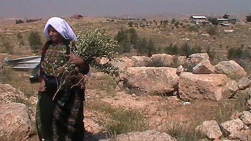 Palestinian woman carrying an olive tree which was going to be uprooted by Israeli forces (Photo by CPT)