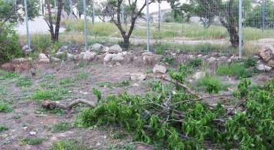 Destroyed almond tree in Tel Rumeida