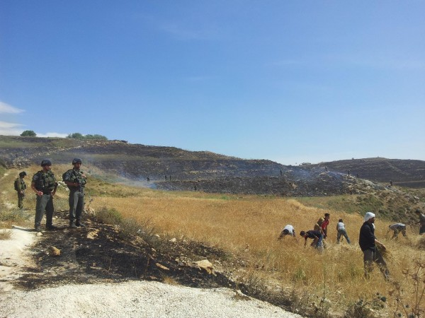 Asira villagers try to harvest crops before they are burnt