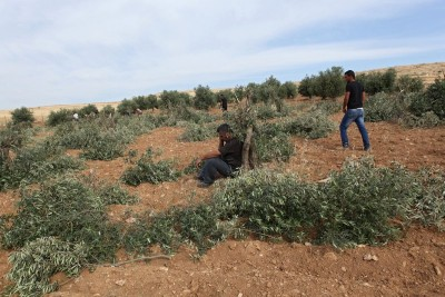 Olive trees cut down (Photo by Operation Dove)
