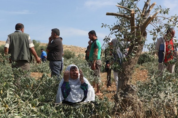 Palestinian woman protests the destruction of the olive trees (Photo by Operation Dove)