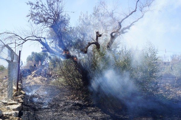 Flames tear through one of Abu Haikel's oldest olive trees (Photo by Christian Peacemaker Teams)