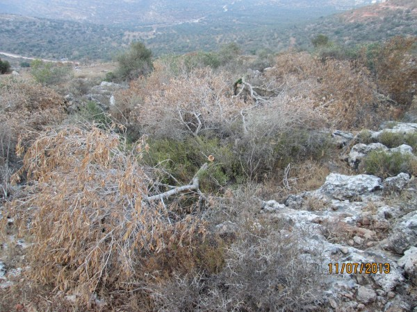Some of the 1,500 trees cut down by settlers from Itamar (Photo by Awarta municipality)