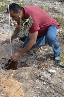 An olive tree being planted on the newly reclaimed land