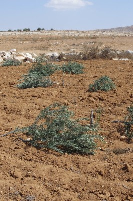 The destroyed olive trees (Photo by Operation Dove).
