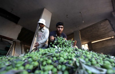 Palestinian workers sort olives at a press in Gaza City, October 2013. (Ashraf Amra / APA images)