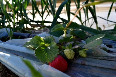 Strawberries in Beit Lahiya. (Photo by Rosa Schiano)
