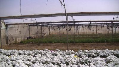 Hassan Hijazi's greenhouses in Rafah (Photo by Corporate Watch)