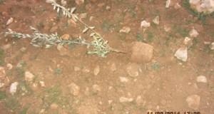 Uprooted olive tree (photo by B'tselem)