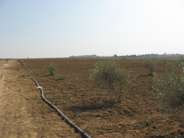 Preparing to re-cultivate land near the buffer zone in Al Zaytoun, occupied Gaza Strip. Photo by Corporate Watch, November 2013