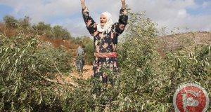 Awarta Olive Trees