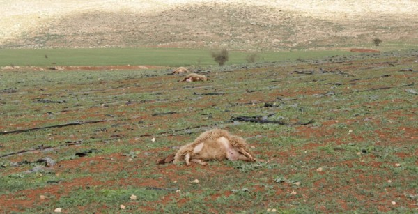 Three of the thirteen sheep killed, stretched out across the land (Photo by ISM).