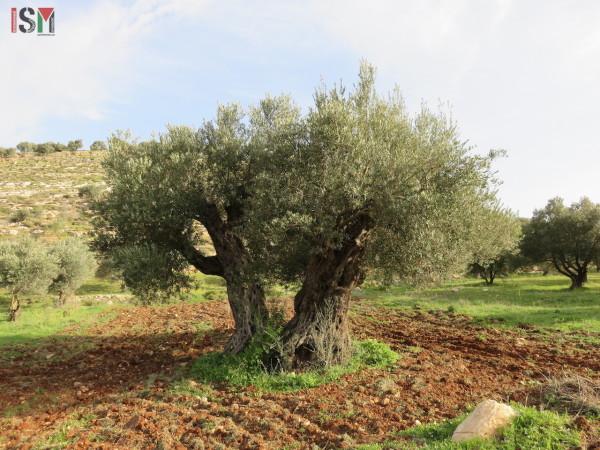 olive tree awarta