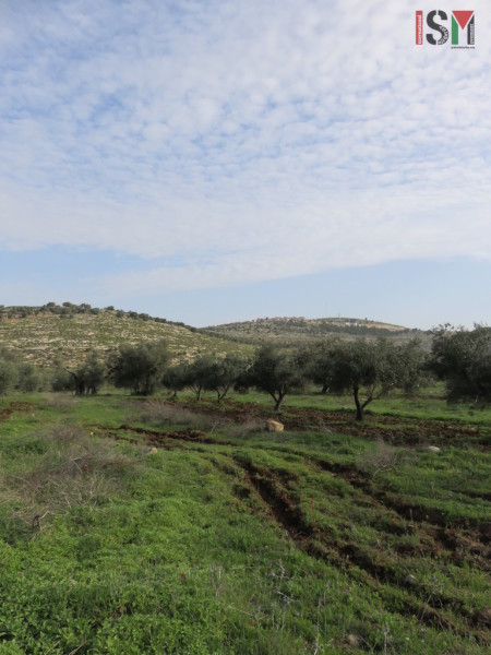 olive trees + settlements Awarta
