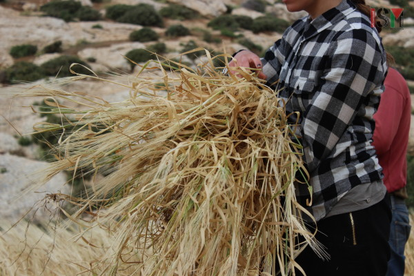 Bundles of wheat collected during the harvest season.