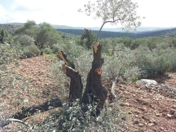 Nablus: Olive tree cut down by settlers