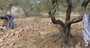 Olive grove in Burin, near Nablus
