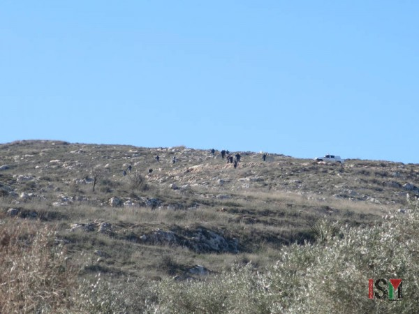 15 masked settlers attacking olive field.