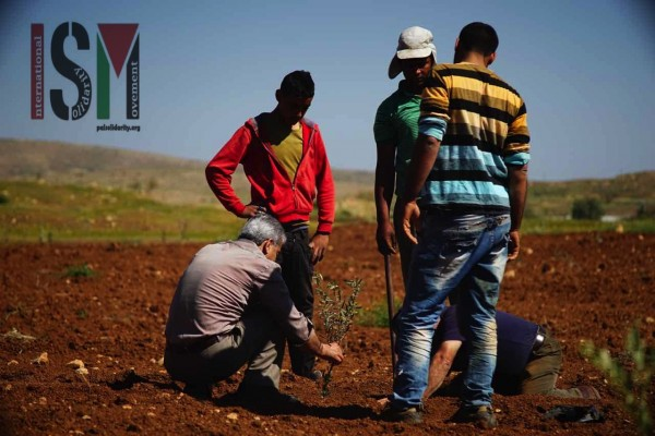 Planting of olive trees