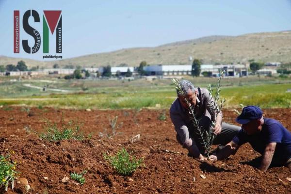 A Palestinian man plants an olive tree