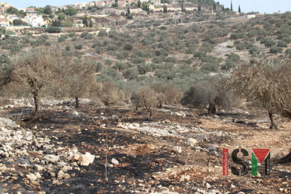The scorched remains of olive trees burned by settlers that week