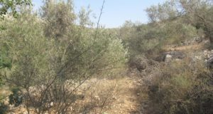 The olive field is overgrown as the access restrictions prevent the local farmers from caring for their fields during the year