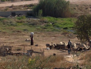 Sewage pipe spilling into Bedouin grazing area